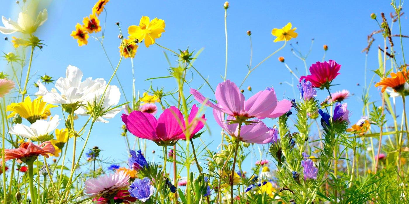 Wiese mit verschiedenen, bunten Sommerblumen