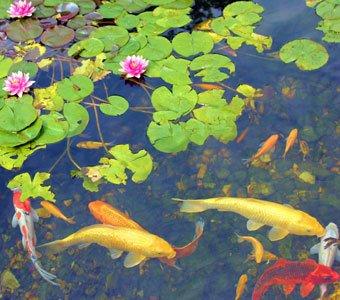 Nahaufnahme von Fischen in einem Teich.