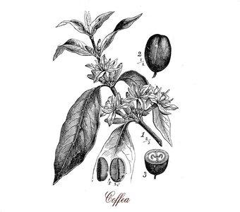 Botanische Zeichnung einer Kaffeepflanze