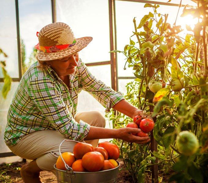 Eine Frau erntet im Gewächshaus Tomaten