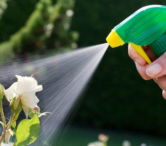 Eine Rose wird mit einem Handsprühgerät bewässert