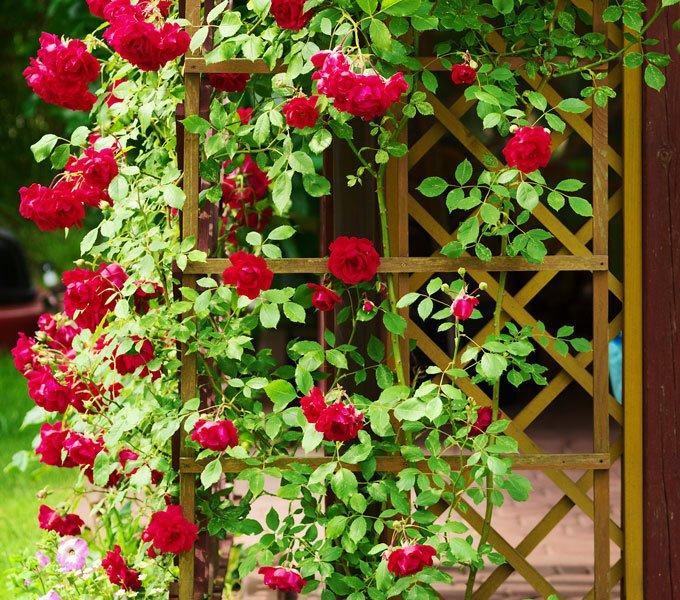 Rosen, die an einer Kletterhilfe emporwachsen
