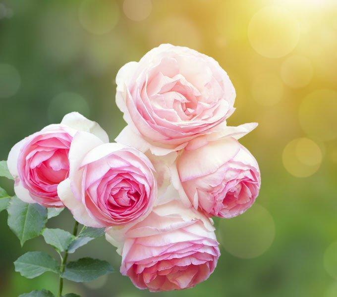 Blüten einer Rose