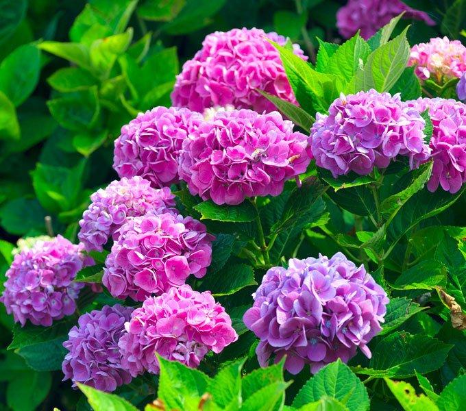 Blüten eines Rhododendronstrauchs