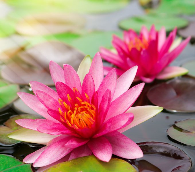 Geöffnete Blüte einer Seerose