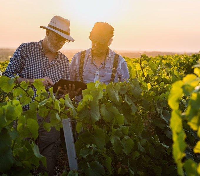 Zwei Winzer kontrollieren die Qualität des Weinbaus