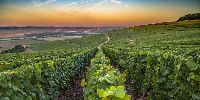 Zahlreiche Weinreben erstrecken sich in einem Anbaugebiet in der Champagne
