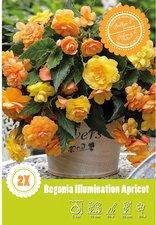 Großblütig gefüllt Blumenzwiebeln Begonie 3 Begonien Picotee gelb//roter Rand