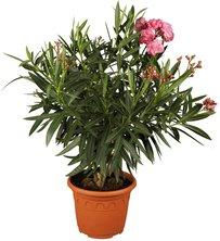 80-120 cm Freiland SONDERAKTION LUKOS 3 Oleander rosa weiß rot Gesamthöhe ca