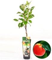 /'Blucerop` 30CM 1 Pflanze im Topf Riesen-Heidelbeere Vaccinium corb